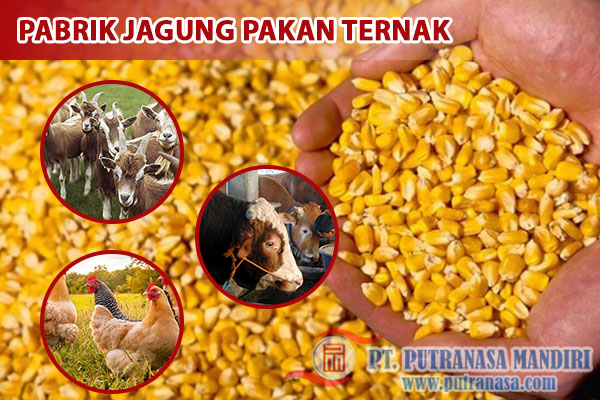 pabrik jagung pakan ternak